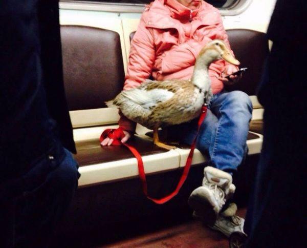 Возможно этого гуся специально берут в метро, чтобы он щипал тех, кто пытается занять место. Как видим, даже рядом с его хозяйкой никто не садится