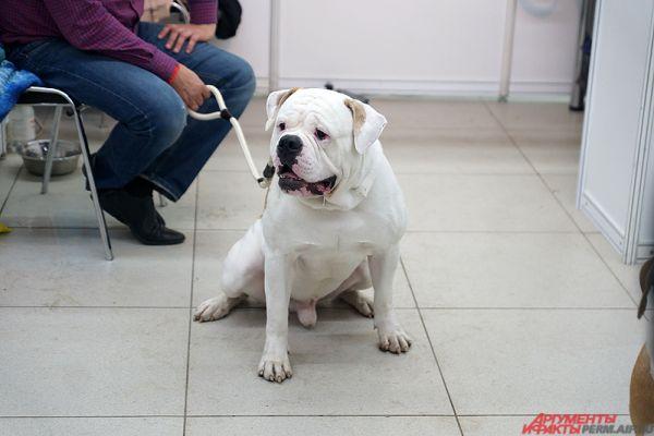 Отметим, прошлую выставку собак посетило порядка 10 тысяч пермяков и гостей краевой столицы.