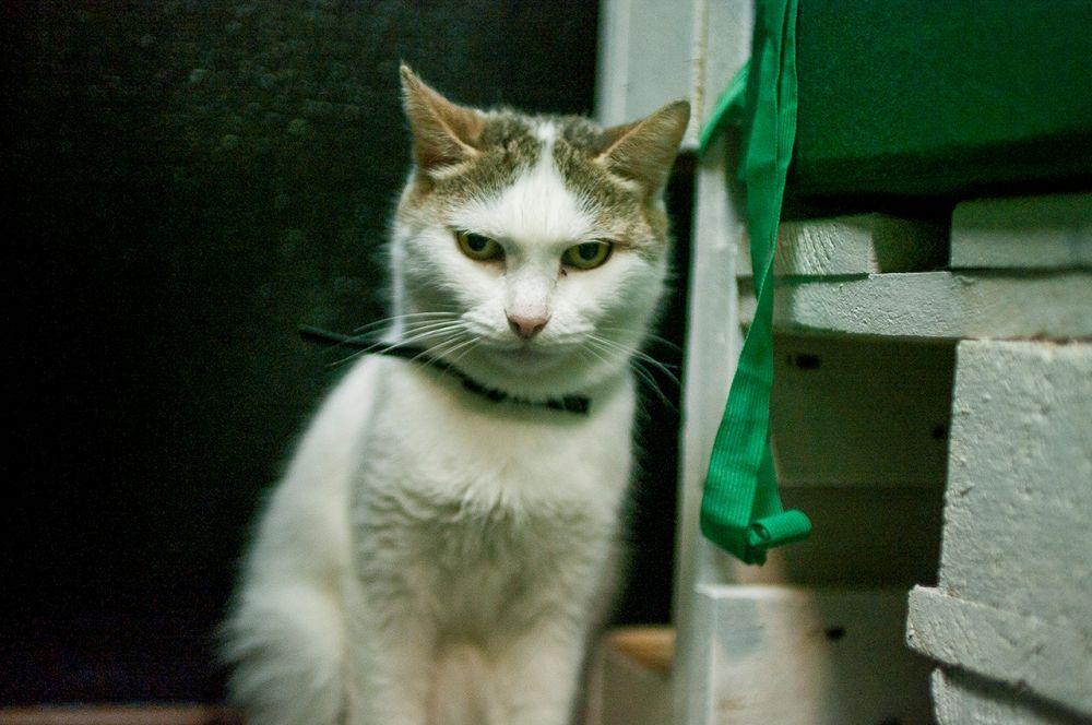 Клара. Пока не самая общительная кошка в кафе, в первые дни посетителей сторонилась. Но все же уже была замечена в мурчании на руках у людей.