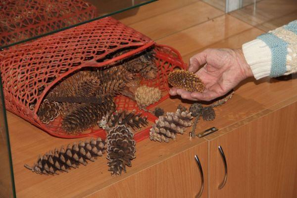 Шишки разных пород из местного дендропарка.