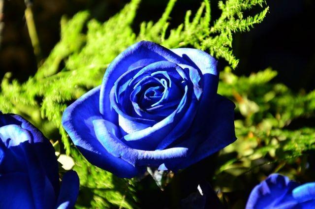 В природе не существует синих роз.