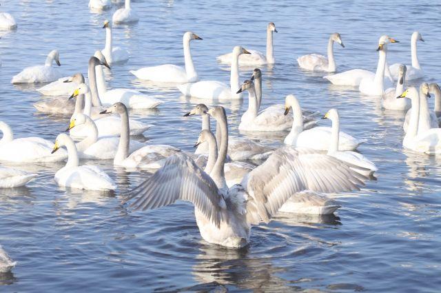 Нанезамерзающее алтайское озеро прилетели лебеди-кликуны