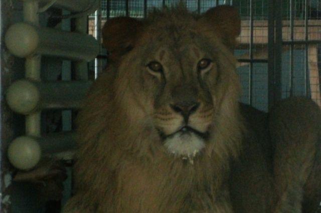 Лев иззоопарка Пензы удачно добрался доВоронежа