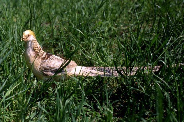 ВПерми замечен королевский фазан