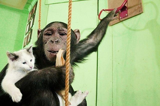 Котенок с удовольствием играет в обезяньи игры, ни на шаг не отставая от приемной мамы.