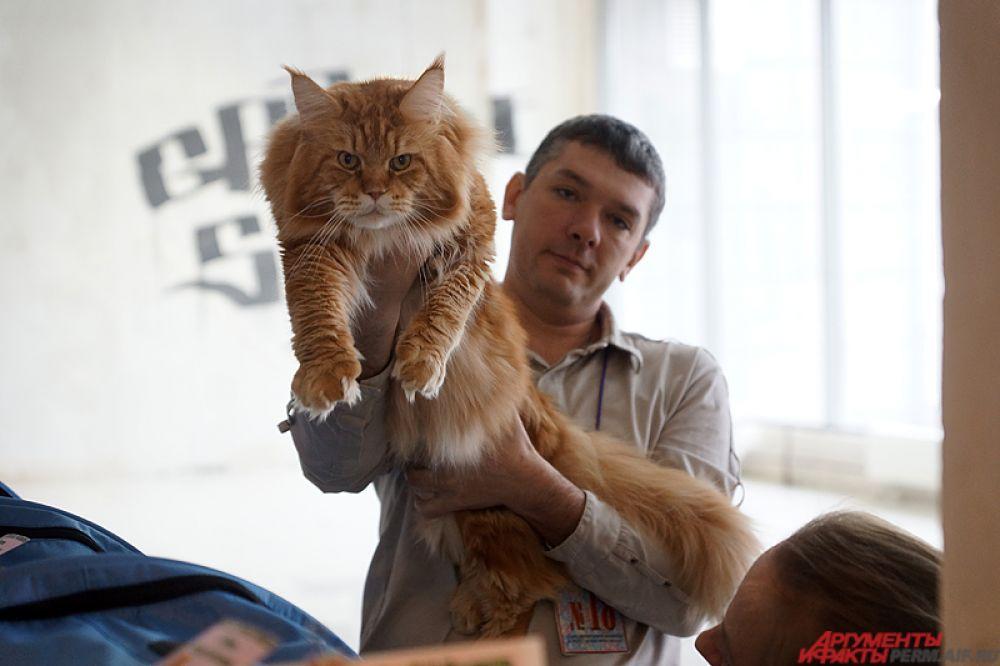 Мейн-кун – аборигенная порода кошек Соединенных Штатов Америки, которая произошла от кошек, проживающих на фермах Северо-Восточной Америки в штате Мэн.