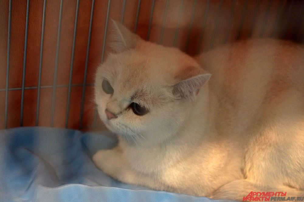 На просторной территории для гостей мероприятия представлены десятки пород кошек.