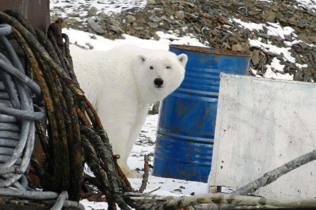 НаЧукотке инспекторы заповедника помогли медвежонку