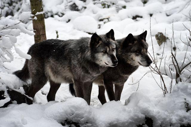 Волки нападают напоселок вХМАО, пострадали десятки домашних питомцев