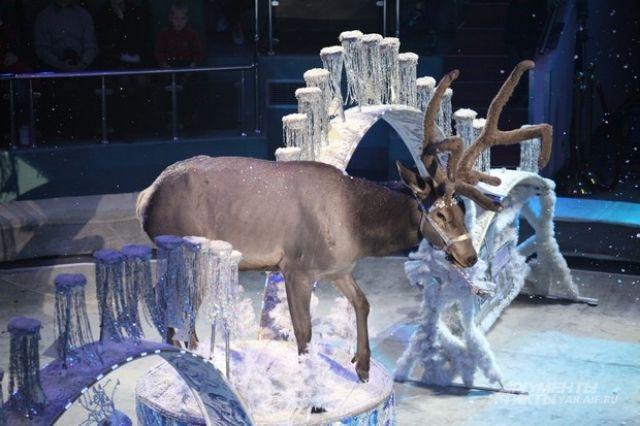 12 фур с животными и реквизитом: «Баронеты» привезли королевское шоу в Ярославский цирк.