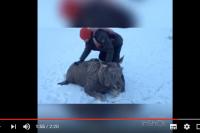 Алтайский рыбак вытащил из воды лося