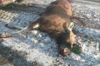 Возможно животное на трассе «Оренбург-Самара» сбил грузовик.