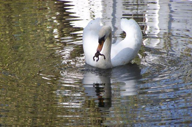 Отбившегося отстаи лебедя могут поместить впензенский зоопарк