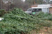 Браконьеры срубили более 300 деревьев.