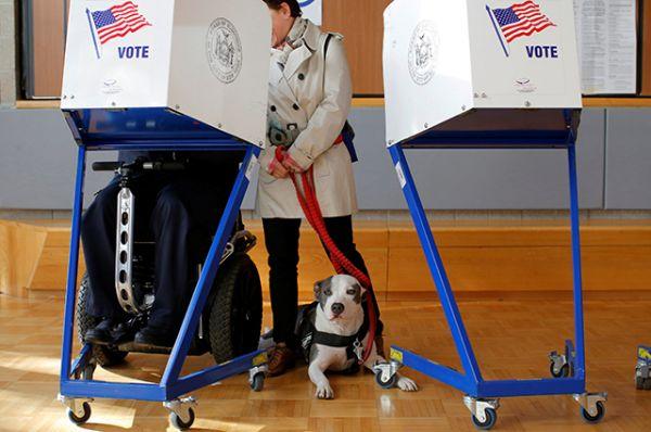 Питбуль Пикассо ждет, пока его владелец Джордж Гальего заполнит свой бюллетень на избирательном участке в Восточном Гарлеме, Манхэттен, Нью-Йорк.