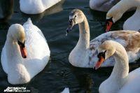 Зоопарк Калининграда рассказал, как помочь оставшимся на зимовку лебедям.