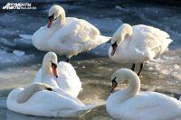 Лебеди не улетают на зимовку в теплые страны.