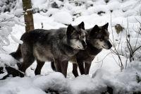 Волки стали часто заходить в посёлок после того, как в нём появились мусорные баки.
