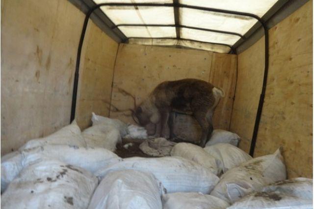 Награнице сКазахстаном задержали северного оленя изСамары