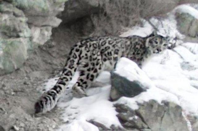 Из-за браконьерства есть угроза существования снежного барса.