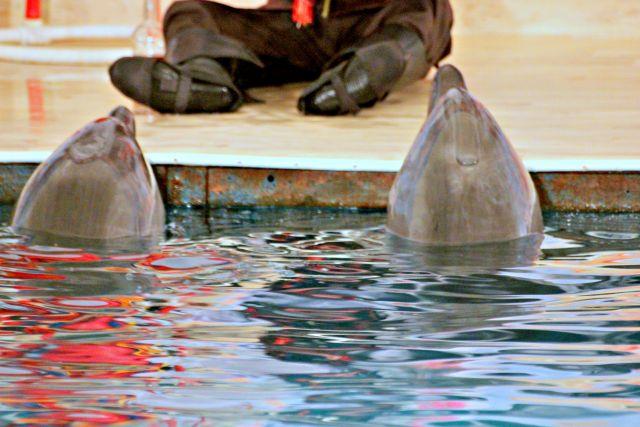 Начальник Приморского океанариума объявил, что дельфинов отравили рыбой сознательно