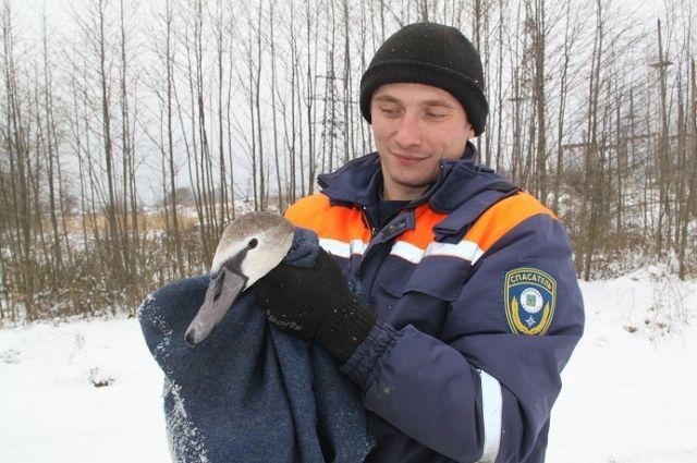 Набрянском озере спасли отзамерзания лебедя споломанным крылом