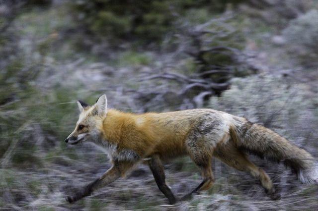 ВКирове наулице Павла Корчагина найден труп бешеной лисицы