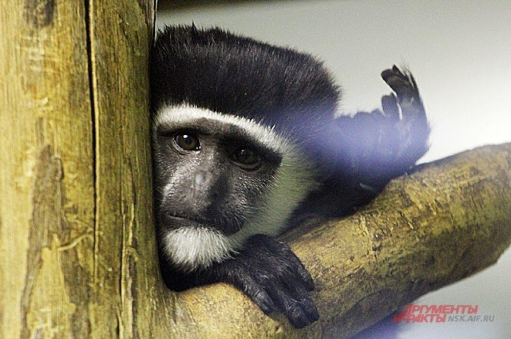 Более крупные приматы зимой могут укутываться в одеяла и простыни. Правда, не всегда из-за мороза, а порой чтобы просто спрятаться и уединиться.