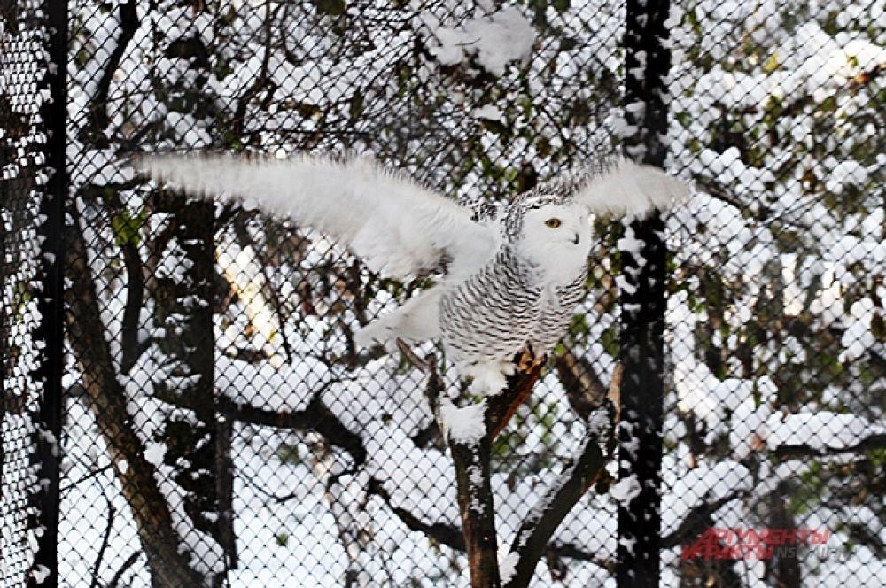 Полярная сова, привыкшая к суровым условиям Арктики, и вовсе чувствует себя в Сибири как на теплом курорте.