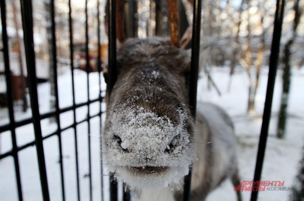 Северные олени рады редким посетителям зоопарка. И тянутся к ним через решетку: морковкой не угостите?