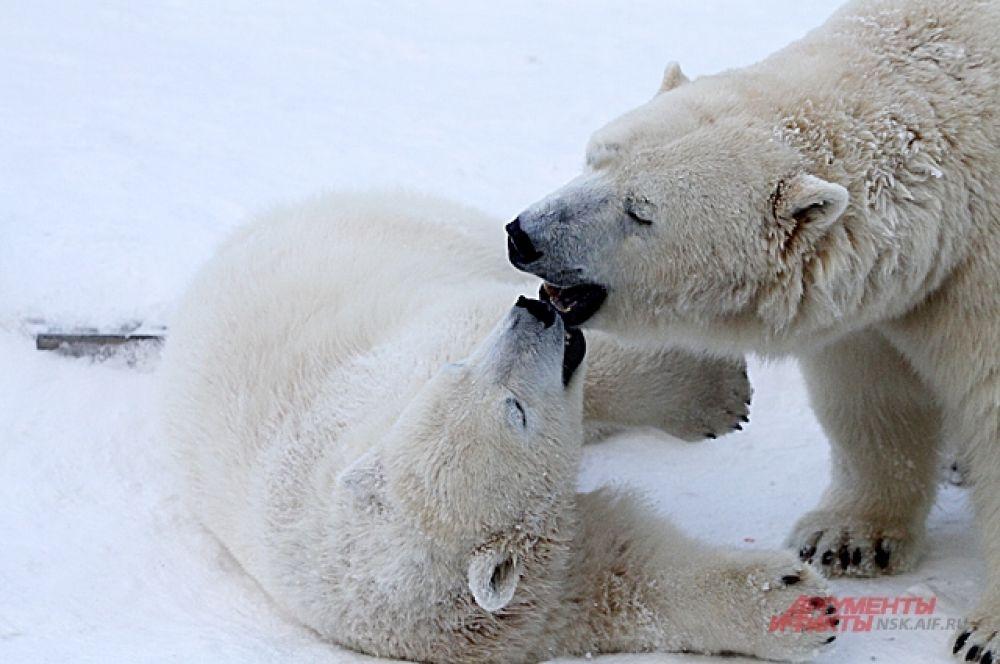 Ростик за лето и осень заметно подрос и уже почти догнал по размерам свою маму - медведицу Герду.
