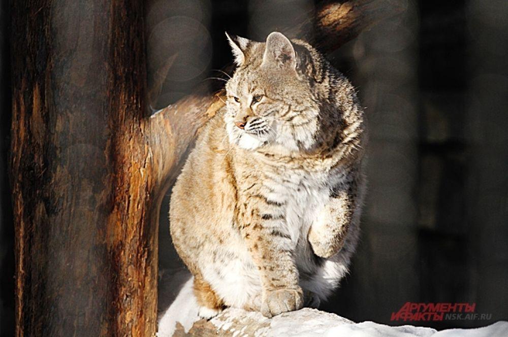 Большинство кошачьих остаются зимовать в открытых вольерах. К зиме их шерсть становится более густой и теплой. Но в самый крепкий мороз надежнее укрыться в домике, тем более на зиму их утепляют сеном.