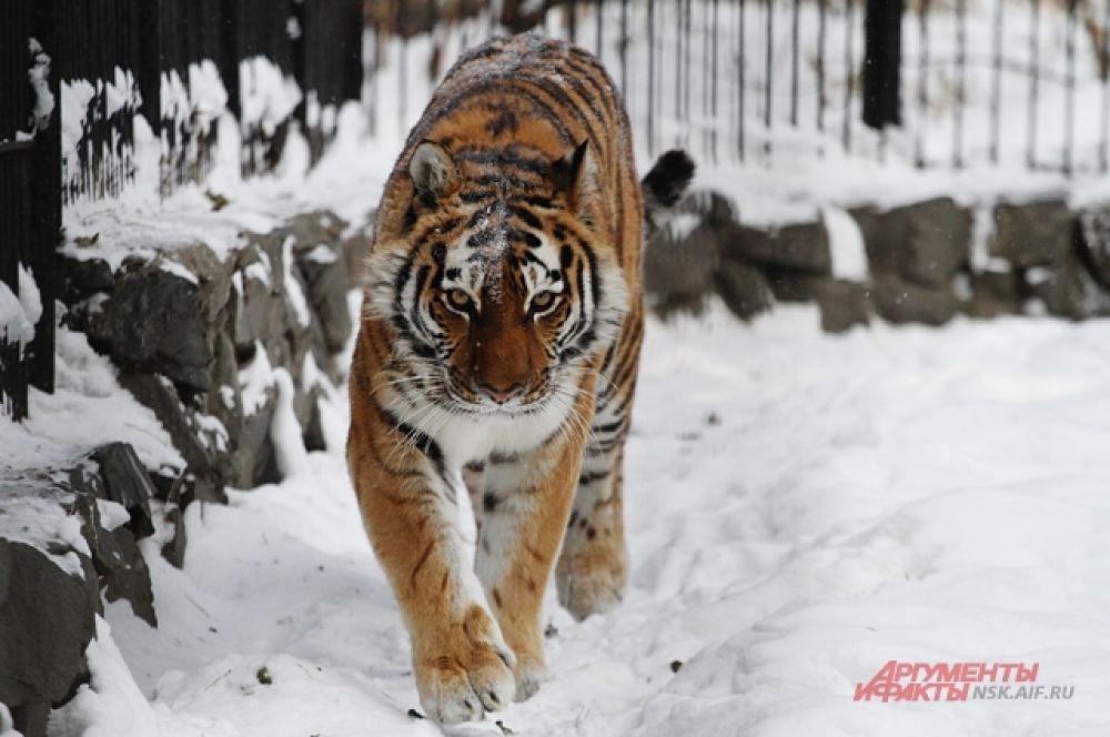 А вот львы и тигры хоть и считаются экзотическими животными, к зимним условиям уже адаптировались и даже в крепкий мороз грациозно прогуливаются по снегу.