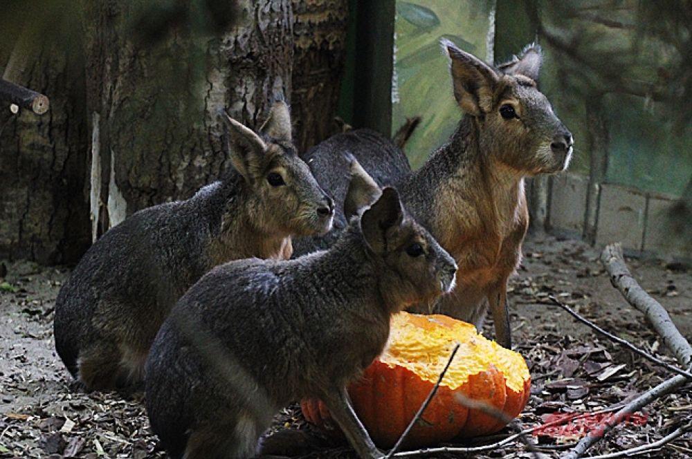 Впрочем, в зоопарке с лихвой еще и собственных запасов осеннего урожая, которым щедро каждую осень делятся жители области. Судя по обеду, за которым наш фотокор застал многих обитателей зоопарка, особенно много в этом году им передали кабачков и тыкв.