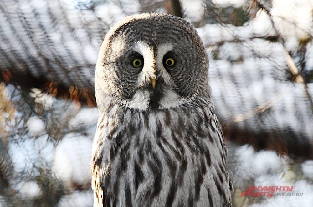Несмотря на внушительные размеры, сова - быстрая и ловкая птица.  У нее особенное строение крыльев: жертва не слышит их взмахов. Зрение у совы тоже отличное. Она может увидеть мышь в темноте и даже под снегом и, молниеносно подлетев, схватить ее.
