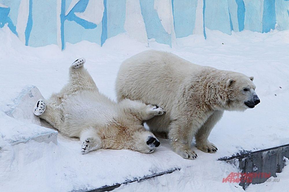 Больше всех радуются снегу в зоопарке белые медведи. Похоже у этих белых артистов, известных своими трюками и работой на публику, зимой - новая программа. Жаль зрителей в такие морозы мало.