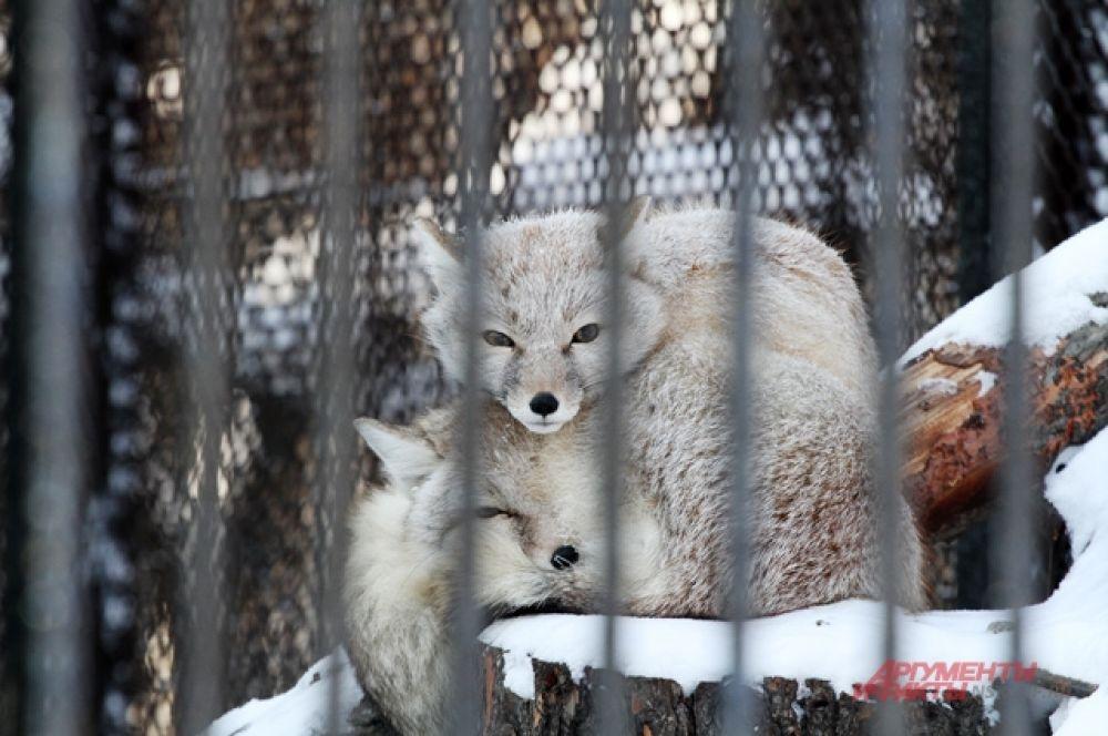 Сильные морозы легче пережить вместе. Лисы жмутся друг к другу, чтобы согреться.