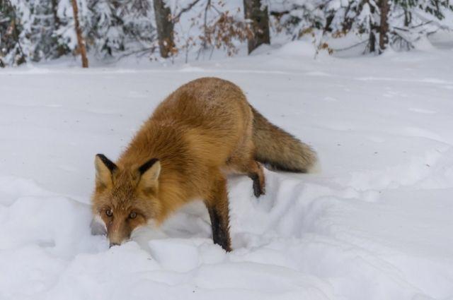 Сотрудники Столбов категорически не рекомендуют кормить животных в заповеднике.