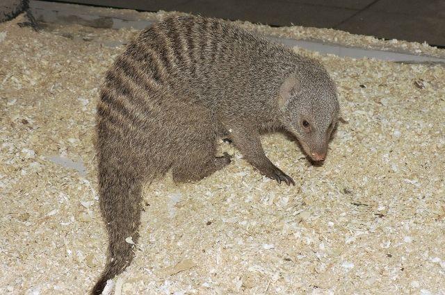 ВЯрославском зоопарке появился полосатый мангуст