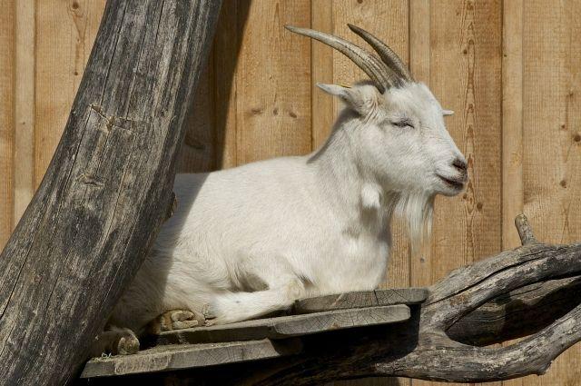 Во время мошеннической схемы коза не пострадала.