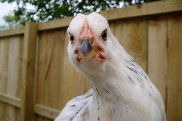 Птичий грипп вУкраинском государстве: запрещен ввоз птицы иполуфабрикатов изстранЕС