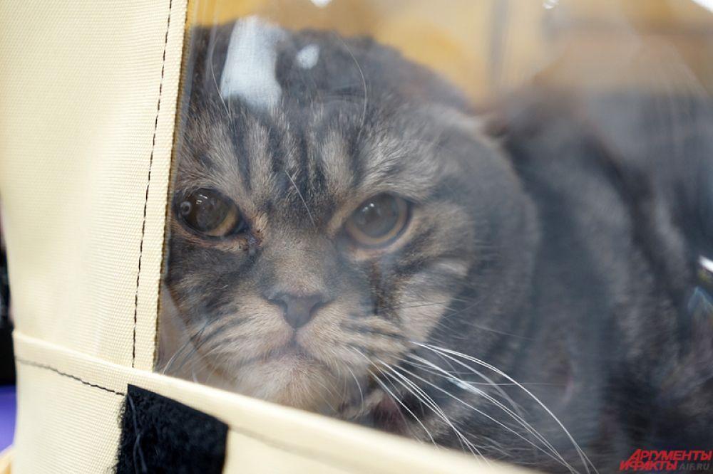 Купить кошек пермяки могут за приличные деньги, так как все животные породистые и имеют хорошую родословную.