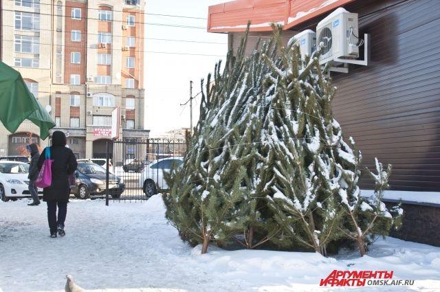 В крае началась заготовка новогодних елей