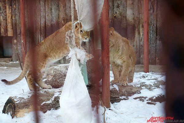 В пермском зоопарке в одном вольере обжились два львёнка.