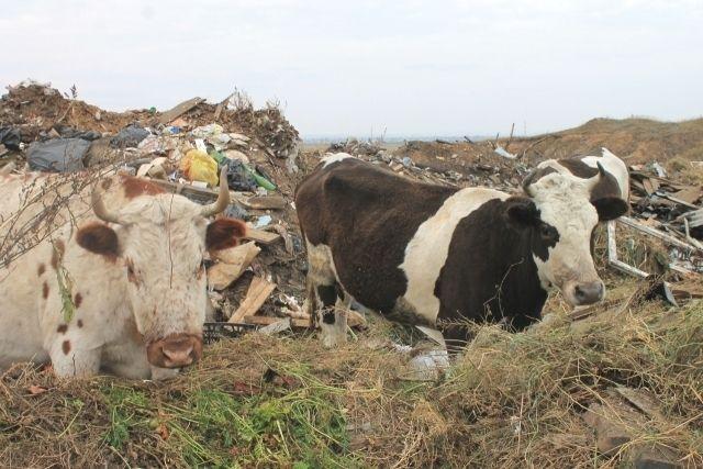В Эхирит-Булагатском районе коровы пасутся на свалке.