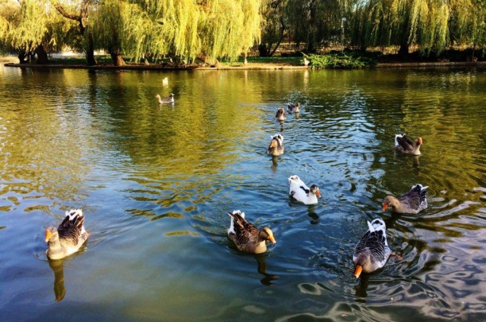 Вот такая на Кубани осень - гуси вовсю резвятся в Городском саду. Автор - Рагдай.