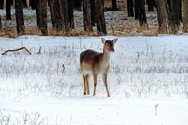 За убийство косули в Пономаревском районе браконьеру грозит уголовная ответственность.
