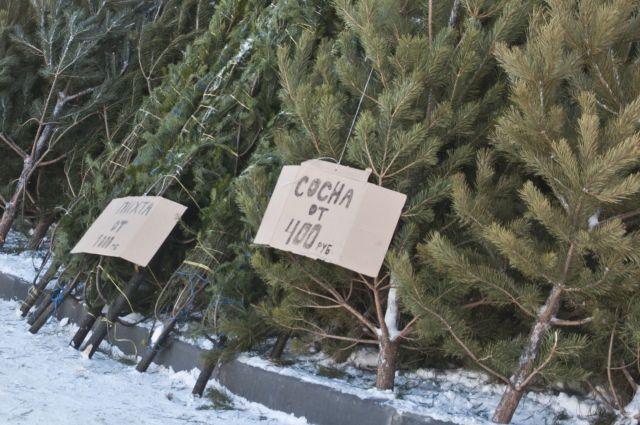 В Омской области уже поймали первых ёлочных браконьеров.