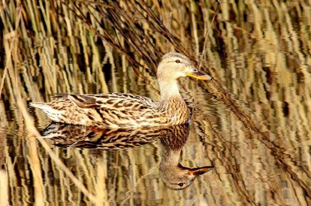 В крае сокращается численность птицы