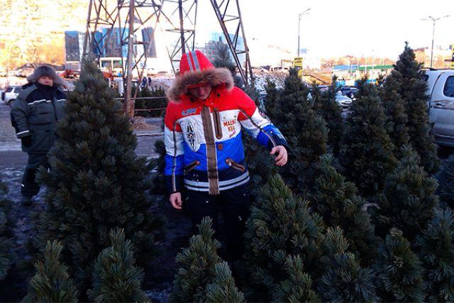 Для новосибирцев привезут более 30 тысяч елок